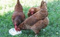 blog_chickens.jpg