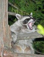 01_raccoon_lgl.jpg